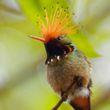 Colibri - Moyebamba - Pérou