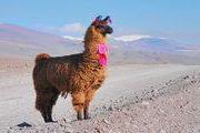 Lama - Bolivie